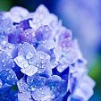 【6月】あじさい(紫陽花)画像集【梅雨】:まとめ
