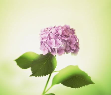 あじさい「Hydrangea」:スマホ壁紙(16)