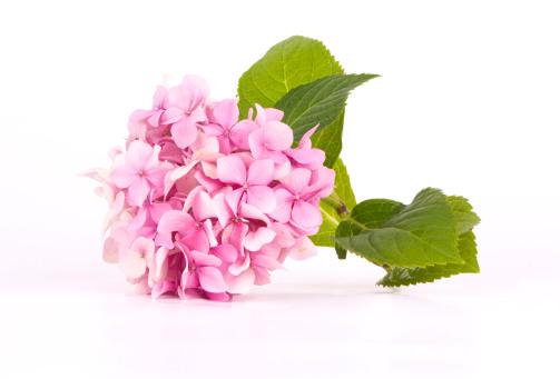 Pink「Hydrangea pink」:スマホ壁紙(6)