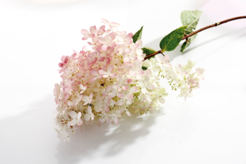あじさい「Hydrangea (Hydrangea paniculata)」:スマホ壁紙(9)