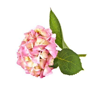 あじさい「アジザイピンクの花」:スマホ壁紙(17)