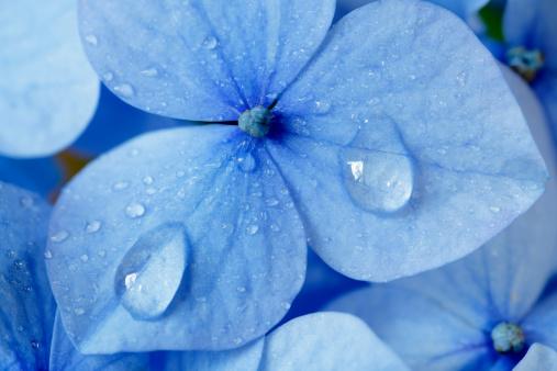Rain「Hydrangea」:スマホ壁紙(10)