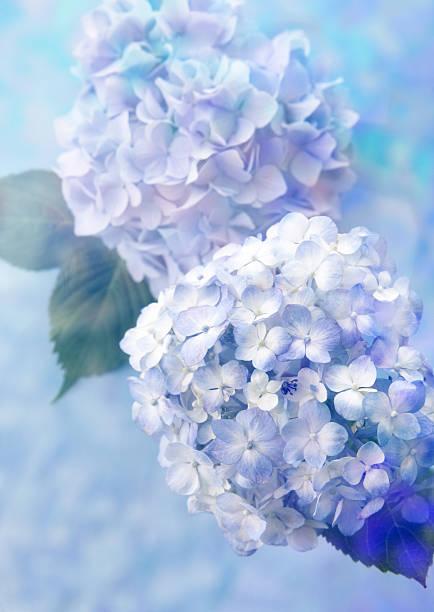 Hydrangea:スマホ壁紙(壁紙.com)