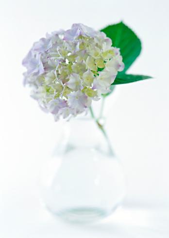 あじさい「Hydrangea」:スマホ壁紙(11)