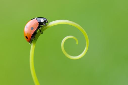 Ladybug「Seven spot Ladybird  (Coccinella septempunctata).」:スマホ壁紙(14)
