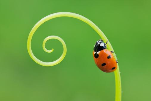 Ladybug「Seven spot Ladybird  (Coccinella septempunctata).」:スマホ壁紙(11)