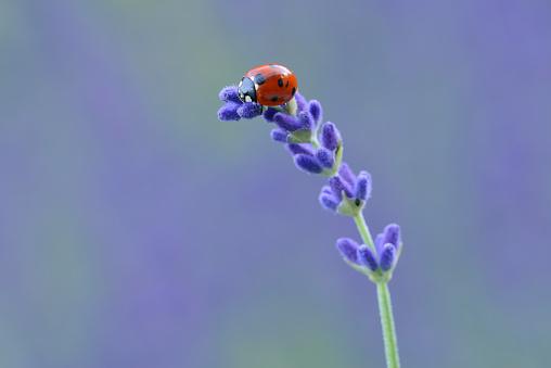 Ladybug「Seven spot ladybird, Coccinella septempunctata, on lavender」:スマホ壁紙(8)