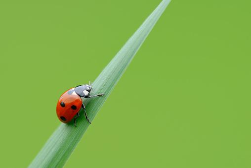 Ladybug「Seven spot Ladybird (Coccinella septempunctata), green background.」:スマホ壁紙(12)