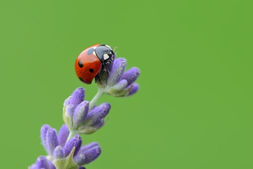 Ladybug「Seven spot Ladybird on Lavender.」:スマホ壁紙(13)