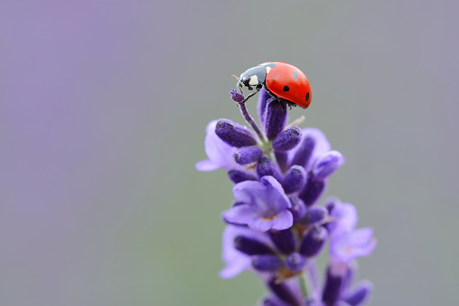 Luck「Seven spot Ladybird (Coccinella septempunctata) on lavender.」:スマホ壁紙(18)