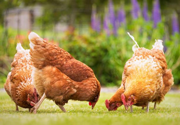 Group of free-range hens foraging for food:スマホ壁紙(壁紙.com)