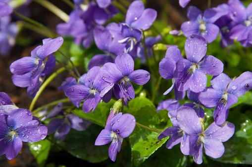 Uncultivated「Violets」:スマホ壁紙(8)
