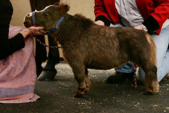 Horse「World's Smallest Horse Visits New York City」:写真・画像(4)[壁紙.com]