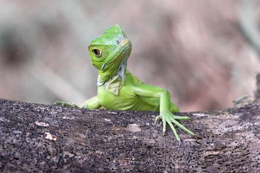 カメラ目線「Green iguana on a tree trunk, Indonesia」:スマホ壁紙(6)