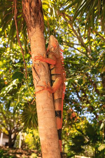 Green Iguana「Green Iguana (Iguana iguana) climbing tree, Roatan, Honduras」:スマホ壁紙(18)