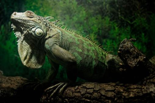 Green Iguana「Green Iguana」:スマホ壁紙(17)