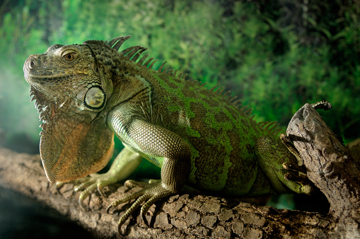 Green Iguana「Green Iguana」:スマホ壁紙(12)