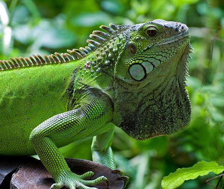 Green Iguana「Green iguana, Knysna, Western Cape, South Africa」:スマホ壁紙(1)