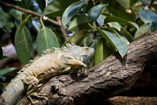 Green Iguana「Green Iguana (Iguana iguana)」:スマホ壁紙(19)