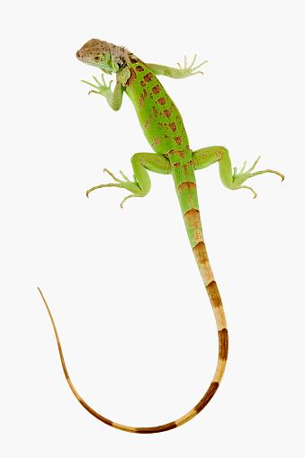 Green Iguana「Green Iguana」:スマホ壁紙(7)