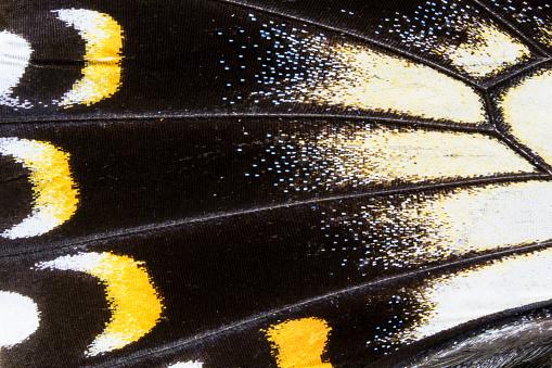Animal Wing「Female Swallowtail closeup, Papilio askalaphus」:スマホ壁紙(0)