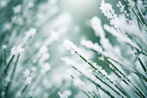Winter「凍った松の枝」:スマホ壁紙(8)