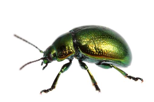 Beetle「Isolated beetle (XXXL)」:スマホ壁紙(16)