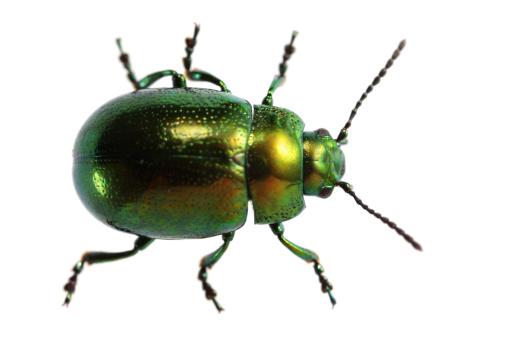 Beetle「Isolated beetle (XXXL)」:スマホ壁紙(14)