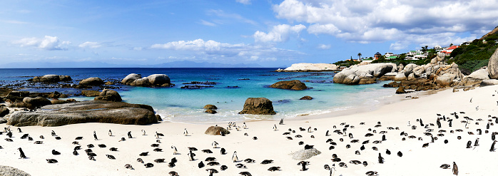 Wildlife Conservation「African penguins  (Speniscus demersis) at Boulders Beach , Simon's Town, South Africa」:スマホ壁紙(6)