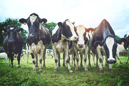 Livestock Tag「An udder day, an udder grazing session」:スマホ壁紙(16)