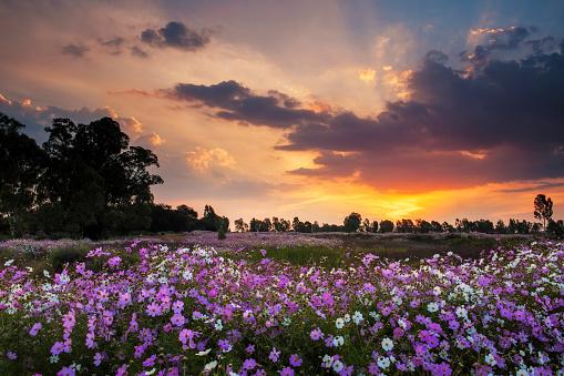 コスモス「Beautiful Pink and White Wild Cosmos Wild Flowers Blooming in a Large Field at Sunset, Magaliesburg, Gauteng Province, South Africa」:スマホ壁紙(3)