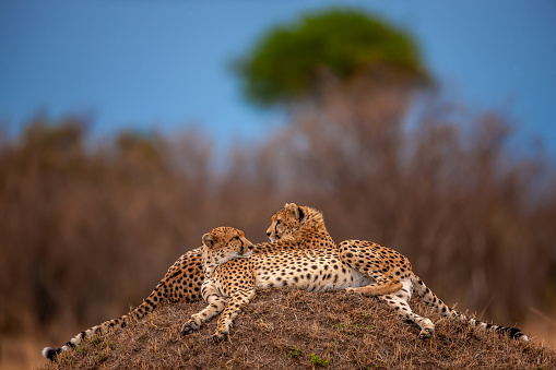 African Cheetah「A beautiful posture of two adult cheetahs (Acinonyx jubatus) resting at plain」:スマホ壁紙(15)