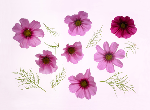 Girly「Beautiful pink cosmos flowers with leaves.」:スマホ壁紙(13)