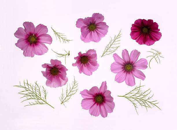 Beautiful pink cosmos flowers with leaves.:スマホ壁紙(壁紙.com)