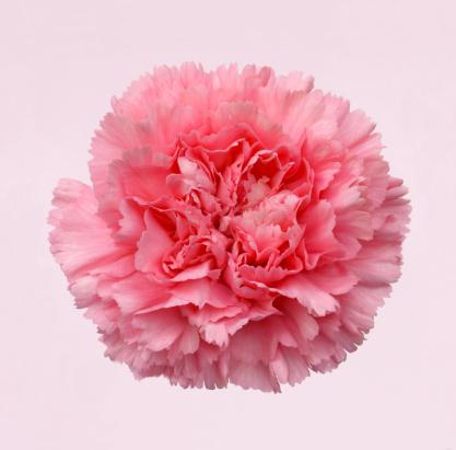 カーネーション「Beautiful pink carnation on white tinged with pink」:スマホ壁紙(2)