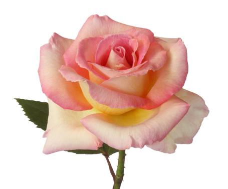 薔薇「Beautiful pink & yellow rose, delicate & fragrant.」:スマホ壁紙(12)
