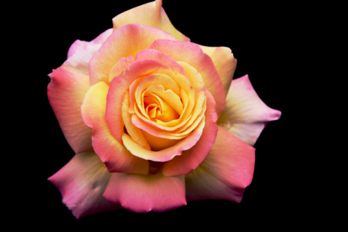 "Sensuality「Beautiful pink and yellow Rose ""Peace"" on black background」:スマホ壁紙(14)"