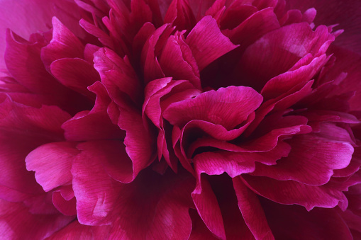 Sensory Perception「Vibrant deep pink petals at centre of peony flower.」:スマホ壁紙(18)