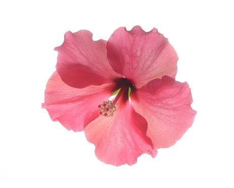 Flower Head「Beautiful pink hibiscus flower on white.」:スマホ壁紙(17)