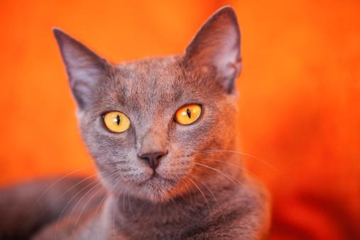 ビルマネコ「ブルーロシア猫」:スマホ壁紙(18)