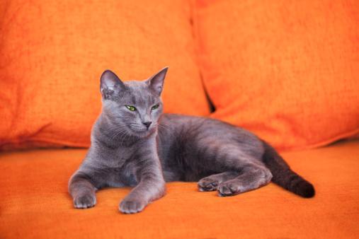 ビルマネコ「ブルーロシア猫」:スマホ壁紙(1)