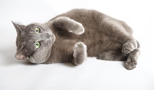 純血種のネコ「Blue Russian cat lying on its side」:スマホ壁紙(8)