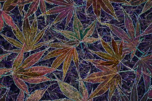 Japanese Maple「Colourful maple leaf abstract.」:スマホ壁紙(14)