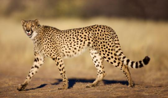 Animals Hunting「Cheetah (Acinonyx jubatus) walking and looking at camera, Namibia.」:スマホ壁紙(8)