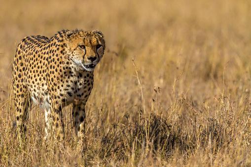 African Cheetah「Cheetah walking through tall savannah grass in Masai MarCheetal walking through tall savannah grass in Masai MaraCheetal walking through tall savannah grass in Masai MaraaCheetal walking through tall savannah grass in Masai Mara」:スマホ壁紙(6)