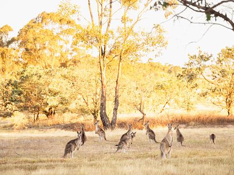 カンガルー「Australia, Canberra, Watchful kangaroos in grassy field」:スマホ壁紙(6)