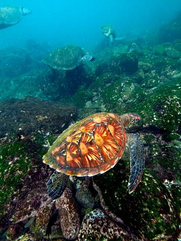 Green Turtle「Galapagos green sea turtles」:スマホ壁紙(10)