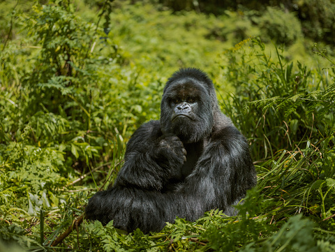 Frowning「Adult mountain gorilla is thoughtfully sitting on leaves.」:スマホ壁紙(3)