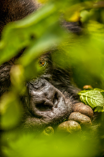 Focus On Background「Adult mountain gorilla is peeking out from behind leaves」:スマホ壁紙(16)