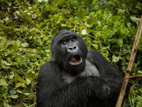 Yawning「Adult mountain gorilla is sitting and yawning」:スマホ壁紙(16)